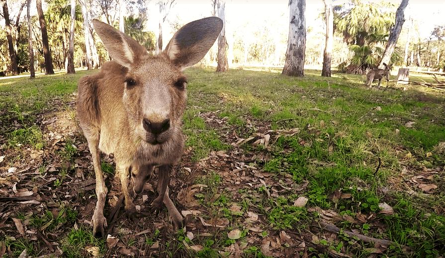Kangaroo, Australia australia on a budget  | best destinations in australia |  amazing places in Australia