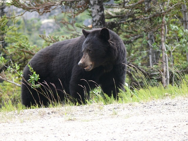 black-bear Canada |Wildlife in Canada | where to see bears in Canada