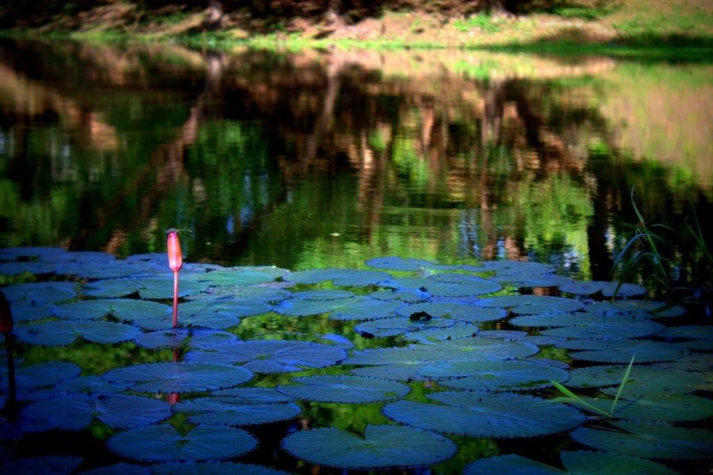 Lotus farm siem reap