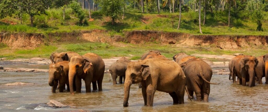 sri lanka elephants